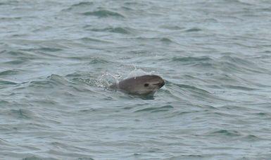 """Pacchiano Alamán reiteró que """"la vaquita marina es un símbolo de conservación, por lo que no descansaremos hasta lograr preservarla para que nuestros hijos conozcan a esta especie y se sientan orgullosos de nuestra biodiversidad."""""""