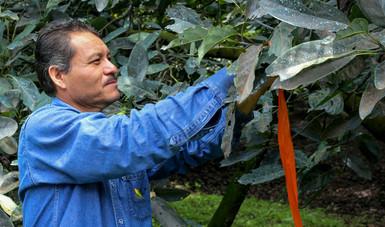 Para proteger los cultivos de aguacate de los escarabajos ambrosiales, se impartió a técnicos y productores un curso taller orientado a fortalecer sus habilidades para la detección oportuna de la plaga.