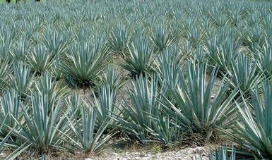 La superficie del cultivo del agave, que en el 2017 llegó a más de 105 mil 600 hectáreas, se encuentra mecanizada y más de la mitad cuenta con tecnología aplicada a la sanidad vegetal, lo que permitió elaborar bebidas como el tequila y mezcal.