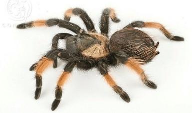 bp250_tarantulas_27feb18