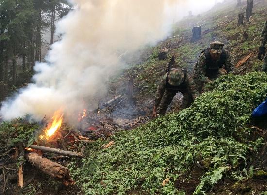 SEMAR incinera plantío de amapola