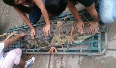 PROFEPAha rescatado y reubicado a 4 ejemplares de Cocodrilo(Crocodylus moreletii)reportados por la población fuera de su hábitat natural y deambulando por calles de diversos municipios en el estado de Tabasco, de enero a la fecha.