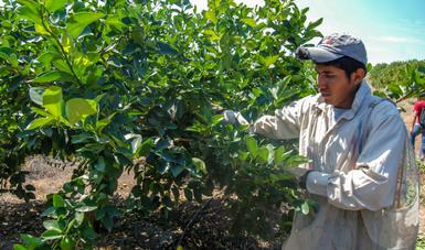 El SENASICA combate las enfermedades Huanglongbing y la Leprosis de los cítricos, con la finalidad de proteger este tipo de cultivos, cuyo valor de producción observó un crecimiento de 15.4 por ciento en 2016.