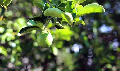 El HLB es una enfermedad que afecta a los árboles de cítricos.