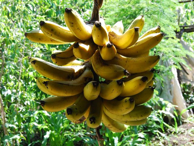 Actualiza SAGARPA Norma a favor de la sanidad del plátano