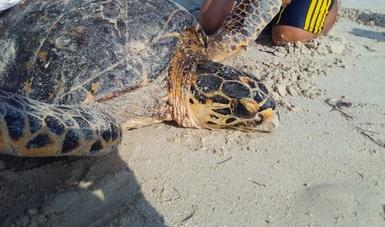 Ría Lagartos es un santuario dedicado a la protección y conservación de tortugas marinas. Es uno de los principales sitios de arribo de las tortugas carey y blanca, ambas con categoría en Peligro de Extinción.