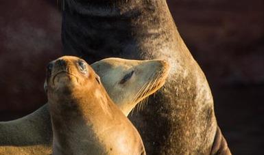 De junio a agosto se lleva a cabo el periodo de reproducción y crianza de lobo marino en ¨Los Isoltes¨, dentro del Área Natural Protegida Archipiélago Espíritu Santo en BCS