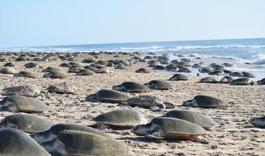 8 mil tortugas lora, llegaron al Santuario Playa de Rancho Nuevo, concentrándose en una zona de 500 metros, evento no registrado desde 2011, en su tercera arribazón de 2018