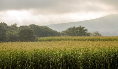 paisaje horizonte con maizales.