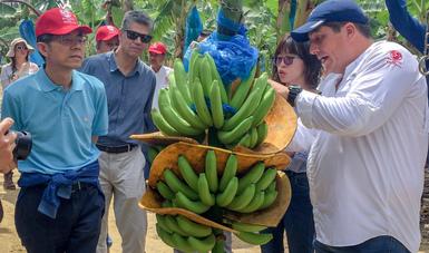 Se avanza en los trabajos protocolarios para la exportación de plátano a China.
