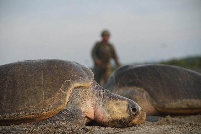 Protección de tortugas golfinas.