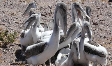 El monitoreo de reproducción de pelícano pardo californiano de la temporada 2018, reportó el doble de nidos activos que el año pasado