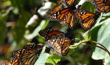 La CONANP invita a los ciudadanos a participar en el monitoreo de las poblaciones de la mariposa Monarca en su localidad