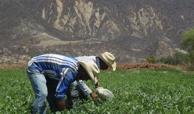 Campesinos cosechando