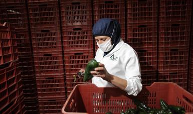 México ocupa el primer lugar a nivel internacional en la exportación de pimientos y el tercero en chile verde.