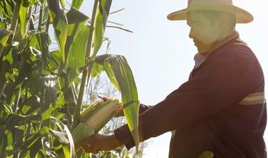 Se registra un progreso en las cosechas de 91.5 por ciento en el ciclo otoño-invierno 2017-2018.