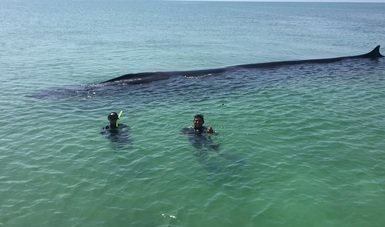 El rorcual de aleta es el segundo mamífero más grande del planeta, después de la ballena azul