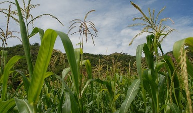Vista a detalle mazorcas de maíz en campo sembrado.