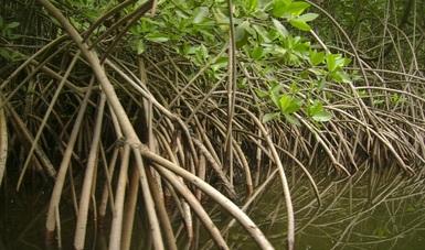 El carbono azul es el carbono orgánico almacenado en los ecosistemas costeros y marinos: manglares, pastos marinos y marismas