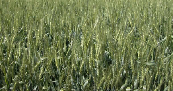 El objetivo es garantizar y fortalecer el ingreso de los productores de trigo cristalino.