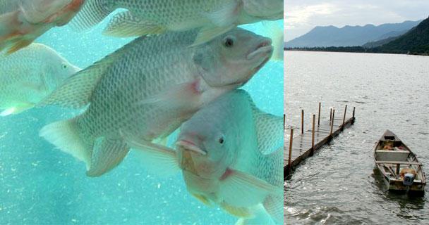 Aguilar Sánchez precisó que esta siembra de peces se llevará a cabo a partir del momento en que las autoridades competentes consideren que el embalse está apto.