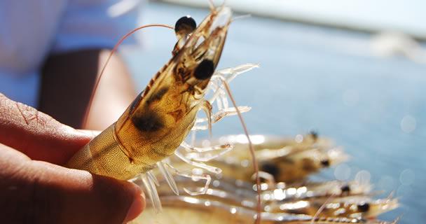 Se registran avances para descifrar componentes genéticos de la inmunidad del crustáceo