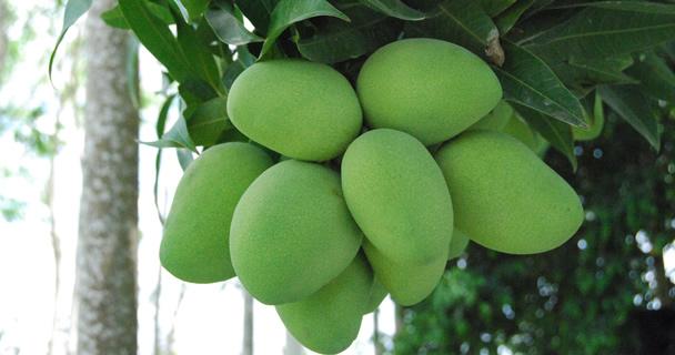 También se ofreció degustación de mango, en el marco del cierre de la campaña nacional de Mango Mexicano.