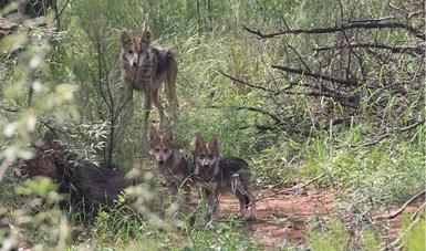La CONANP liberó una familia de 7 ejemplares de lobo gris mexicano en su hábitat natural