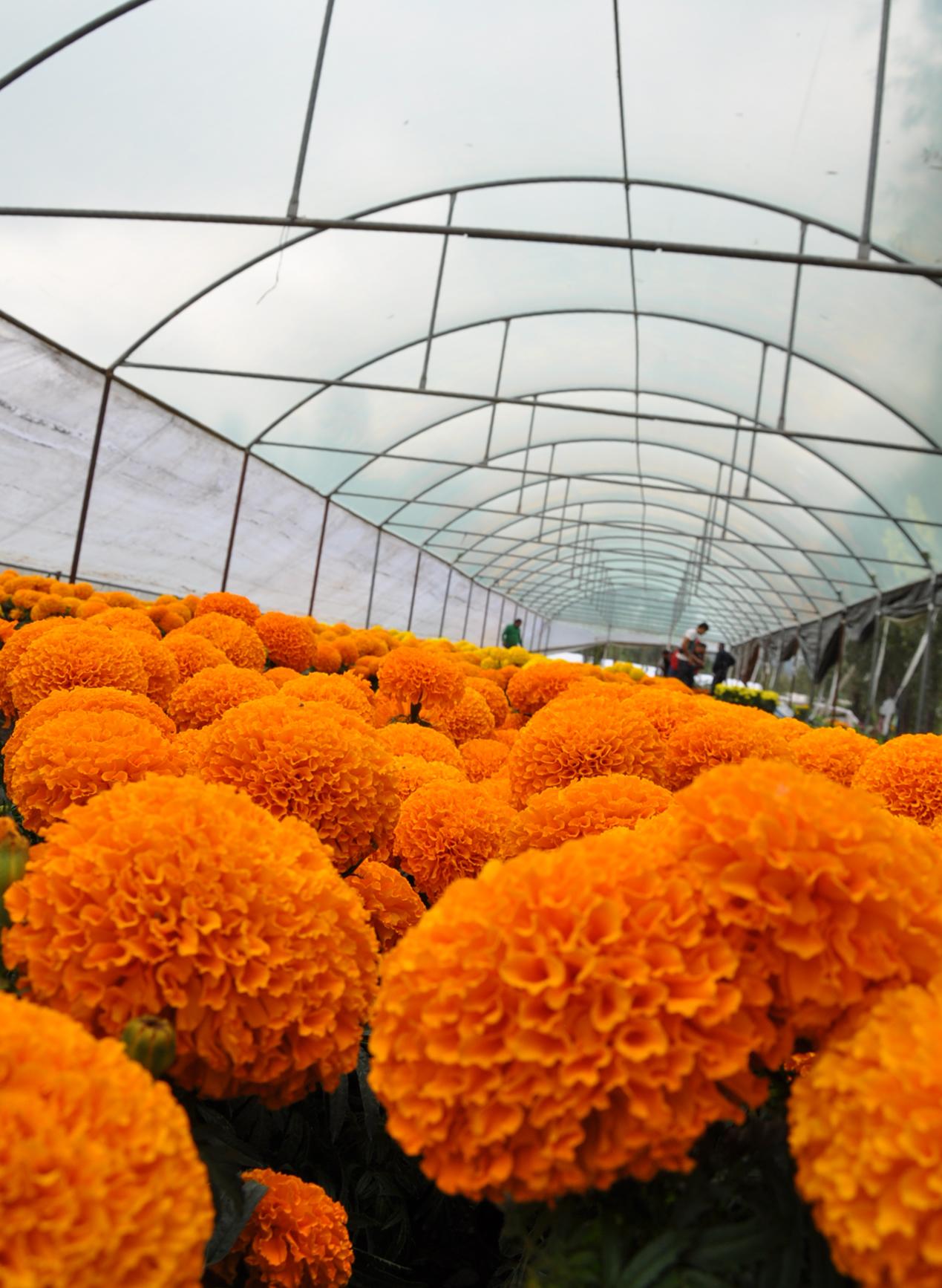 Preparados floricultores para abastecer demanda de zempoalxóchitl