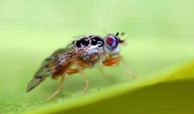 mosca del Mediterráneo Ceratitis capitata (Wiedemann)
