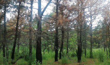 Zona de árboles en Puebla, infectados por plaga.