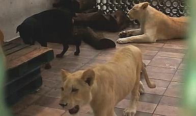 El inspeccionado de la colonia Viaducto Piedad negó a la PROFEPA llevar a cabo el traslado de los felinos a un sitio especializado para su estancia y cuidados.