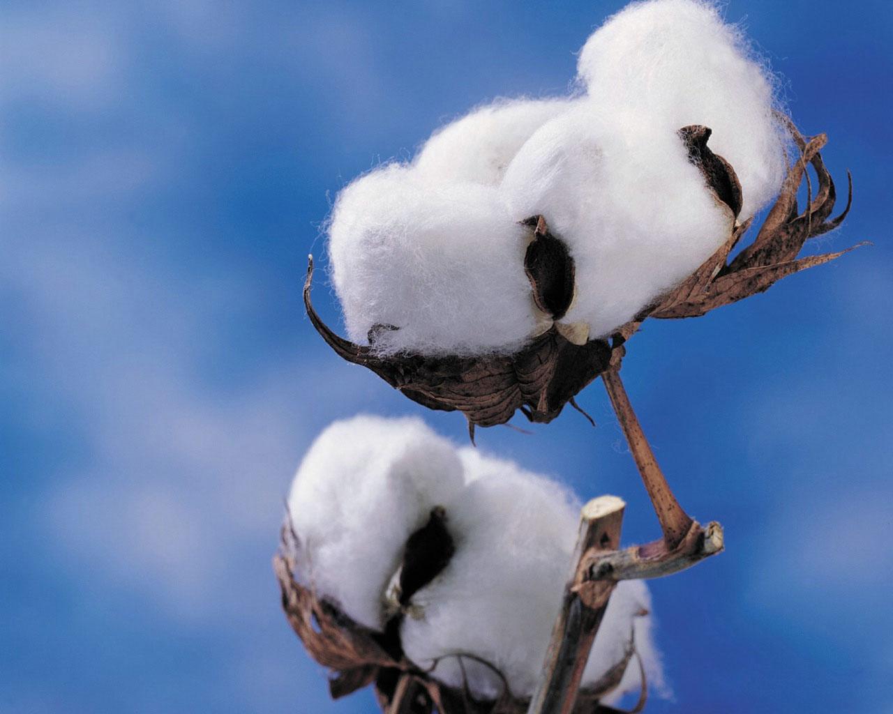 Moderniza SAGARPA norma que establece el control de plagas del algodonero