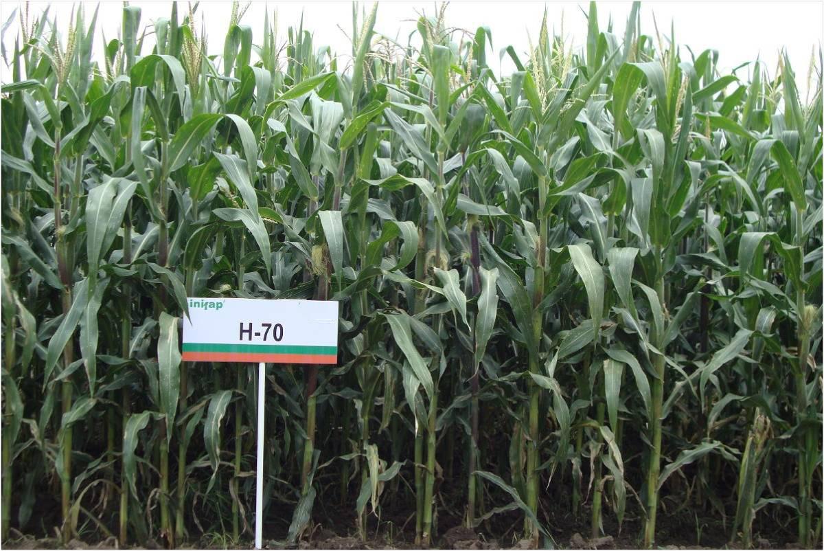 Desarrolla INIFAP híbrido de maíz resistente y de alto rendimiento para comunidades de los Valles Altos de México