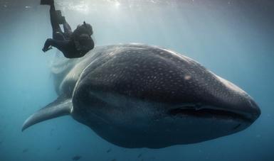 """""""Tiburón ballena de la Paz"""" busca generar orgullo y una mayor valoración en la población local, nacional e internacional sobre la importancia de esta especie por su belleza, papel ecológico y beneficio económico."""