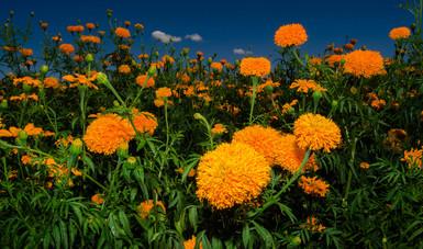 El valor de la producción de esta flor ornamental, se incrementó en más de 11 millones de pesos del 2016 al 2017, al pasar de 43 millones 956 mil pesos a 55 millones 36 mil pesos.