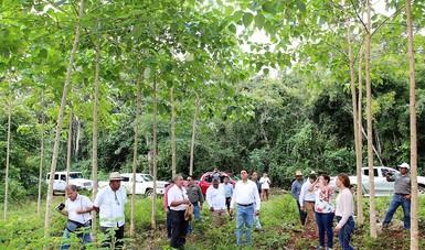 Comitiva de autoridades en recorrido en una plantación forestal comercial de Yucatán.