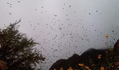 Miles de mariposas Monarca se encuentran cruzando los estados de Nuevo León, Tamaulipas, San Luis Potosí y Guanajuato