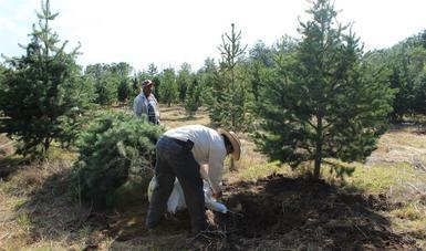Personal de una plantación en Zacatecas realiza labores de retiro de árboles de Navidad.