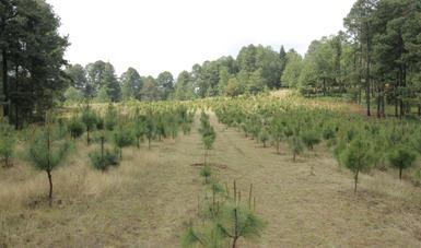 Paisaje de reforestación con pino.