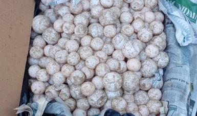 PROFEPA custodia 7,500 piezas de huevos de tortuga marina como resultado de un rondín de vigilancia en carretera Acapulco-Pinotepa Nacional