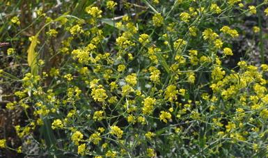 Las plantas silvestres atraen a los enemigos naturales de las plagas.