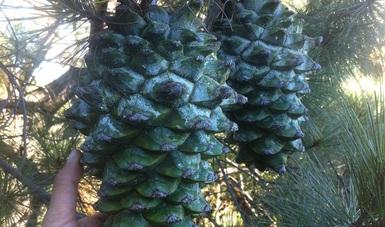 Cono de pino azul, endémico de México y que solo se le encuentra en Zacatecas y Durango