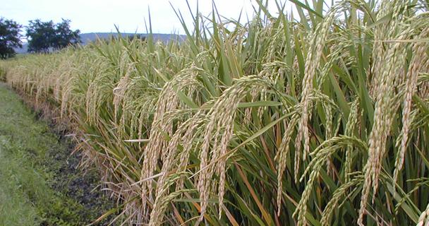 A través de la Agencia de Servicios a la Comercialización y Desarrollo de Mercados Agropecuarios (ASERCA) se opera este programa dirigido a productores de arroz palay del ciclo agrícola primavera-verano 2014