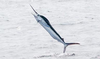 Los marlines azul y blanco son especies de peces marinos pelágicos tropicales y subtropicales de interés para la pesca.