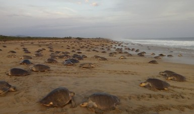 Para la recuperación de esta especie, la CONANP cuenta con el Programa de Acción para la Conservación de Especies que define estrategias integrales para su conservación