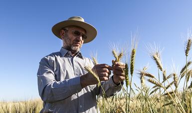 El programa MasAgro de la Secretaría de Agricultura y Desarrollo Rural, cuenta con uno de los principales expertos en el desarrollo de cultivos tolerantes a sequía a nivel mundial, quien lidera su programa de fisiología de trigo en el CIMMYT.
