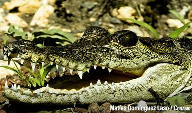 Especie cocodrilo de pantano