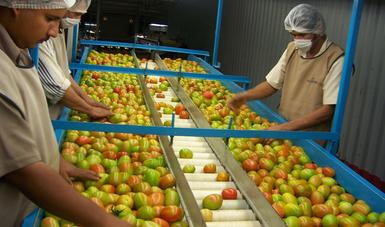 El Senasica determinó que sean los productores o empacadores quienes verifiquen que su producto está libre de síntomas del virus.