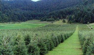 Plantación juvenil de árboles de Navidad.